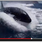 Killer Whales in an Exhilarating Chase…How Lucky Was this Family!!